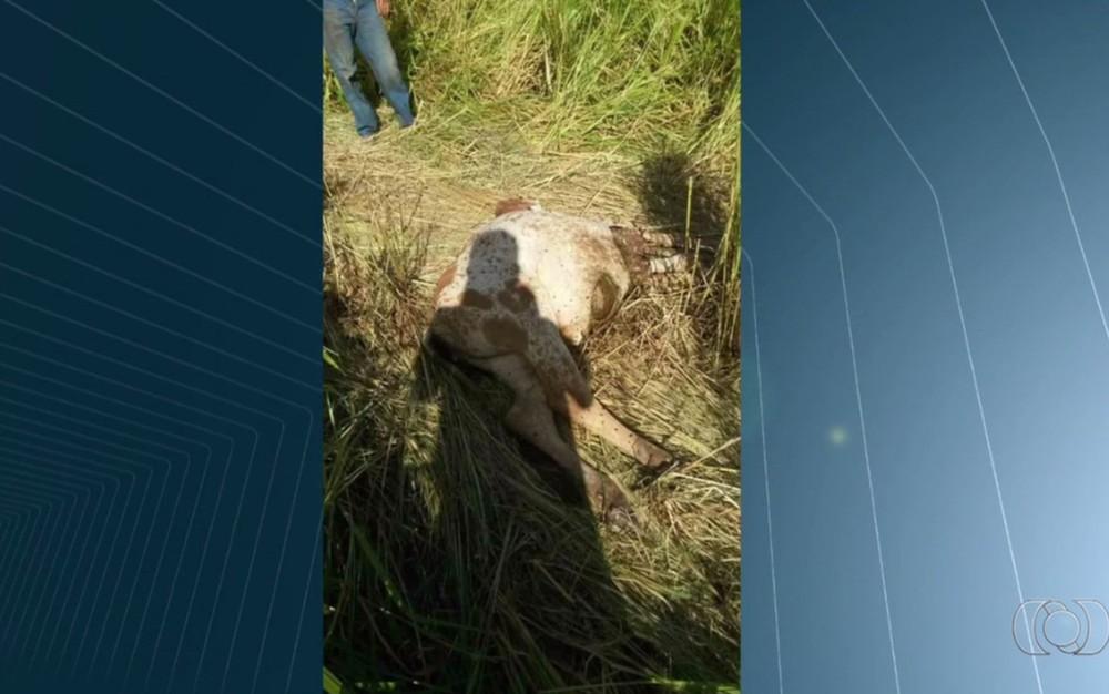 Fazendeiro crê que onça já atacou 10 bezerros e 4 cachorros no Morro do Mendanha, em Goiânia